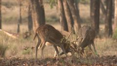 P03447 Spotted Deer Bucks Fighting in India Stock Footage