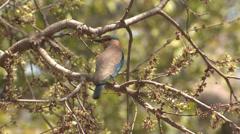 P03411 Indian Roller Bird Stock Footage