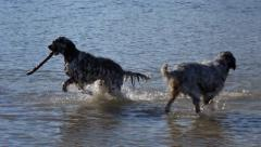 Two english setter dogs are playing with a wooden stick in a riverbank in the Stock Footage