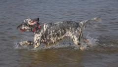 Two english setter dogs are playing and running in a riverbank in the water Stock Footage