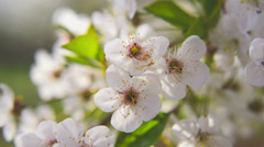 Pear blossoming flowers in the spring as seasonal background Stock Footage