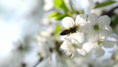 Bee collecting pollen from white pear blossoming flowers. Spring season. Stock Footage