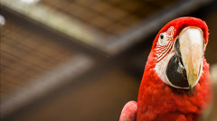 World's largest parrot Green-winged Macaw (Ara chloropterus) Stock Footage