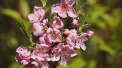 Dwarf Nectarine fruit tree Stock Footage