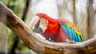 Stock Video Footage of world's largest parrot Green-winged Macaw  (Ara chloropterus)