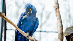 World's largest parrot Hyacinth Macaw Stock Footage