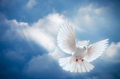 dove in the air with wings wide open - stock photo
