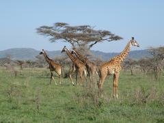 Herd of Giraffe (giraffa camelopardalis) - stock photo