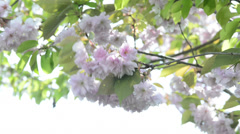 Japanese cherry blossom - stock footage