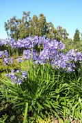 African lilly - agapanthus umbellatus Stock Photos