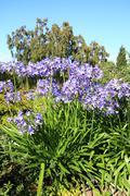 african lilly - agapanthus umbellatus - stock photo