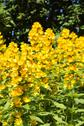 Stock Photo of loosestrife (lysimachia punctata)
