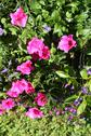 Stock Photo of pink petunia flowers in the garden
