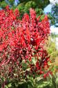 Stock Photo of lobelia tupa close up