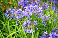 Stock Photo of african lilly - agapanthus umbellatus