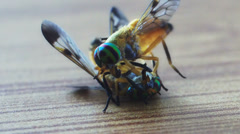 Macro of Gadflies Stock Footage