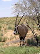 Gemsbok (oryx gazella) - stock photo