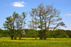 Old alder trees in the springtime. - stock photo