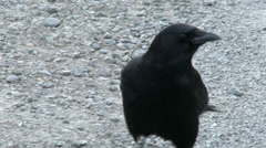 Crow On a Gravel Road Stock Footage