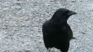 Stock Video Footage of Crow, Raven, Bird, Black, Walk, Pace, 4K, UHD