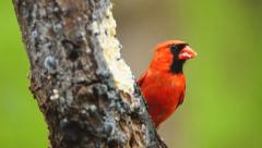 Cardinal Red Male Stock Footage