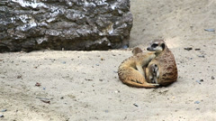 Funny family of meerkats with cubs. Stock Footage