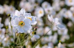 Stock Photo of Japanese Anemones - Autumn white flowers