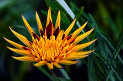 Apache Gazania - Decorative flower - stock photo