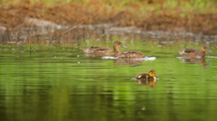Ducks and ducklings swimming in the water in the wild Stock Footage