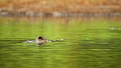 Brown duck searching for food in the lake in the country  Stock Footage