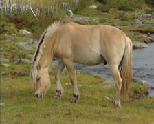 Norwegian Fjord horse grazing at the bank of a mountain stream, Rondane, Norway Stock Footage