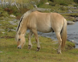 Stock Video Footage of Norwegian Fjord horse grazing at the bank of a mountain stream, Rondane, Norway