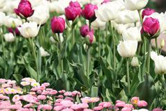 Garden with tulip and daisy flower Stock Photos