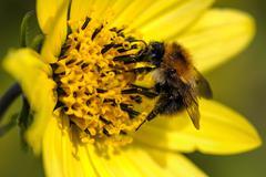 Honey Bee - extracting pollen Stock Photos