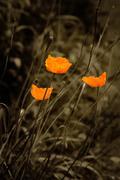 Stock Photo of Orange poppies vintage look nostalgia