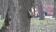 Stock Video Footage of squirrel on a tree