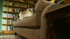 Shih-Tzu plays with her toy on sofa in old cottage Stock Footage