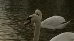 2 white swans, one in front close-up Stock Footage