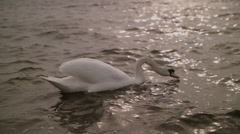 Drinking swan in the water Stock Footage