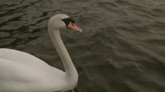 Swan swimming close up - stock footage