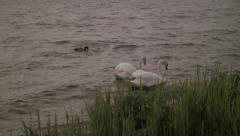 Two swans in the water with green grass and a duck Stock Footage