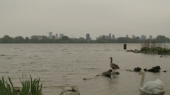 Swans and other waterbirds in a lake nearby the city - stock footage