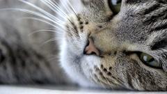 Yawning Cat Stock Footage