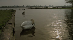 2 swans cleaning and washing in a dutch lake - stock footage