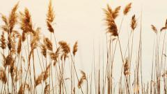 Cattails in the spring light Stock Footage