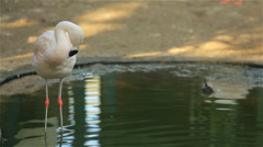 Phoenicopterus in a zoo - stock footage