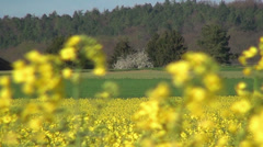 Yellow rape blossoms in the wind 04 Stock Footage