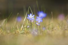 flowering hepatica nobilis during spring in sweden - stock photo