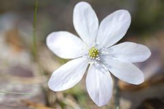 rare white flowering hepatica nobilis during spring in sweden - stock photo