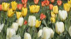 Multi colours of Tulips in garden blowing in a breeze Stock Footage